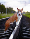 Bull terrier on rails english thoroughbred dog canine friend red dog and railroad Royalty Free Stock Photos