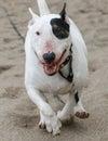 Bull terrier running through the sand Royalty Free Stock Photo