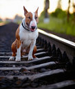 The bull terrier sits on rails english thoroughbred dog canine friend red dog and railroad Royalty Free Stock Photo