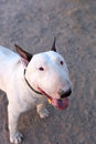 Bull terrier smiling and looking up for his picture a posing at the camera Stock Photo