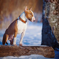 Bull terrier on walk in park english thoroughbred dog canine friend red dog winter dog dog Stock Images