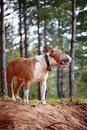 Bull terrier on walk in the wood english thoroughbred dog canine friend red dog winter dog Royalty Free Stock Photography