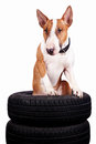 Bull terrier and wheels Stock Image