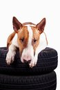 Bull terrier and wheels Royalty Free Stock Image