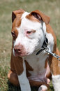 Bull terrior pit bull picture taken of my dog percy a terror Royalty Free Stock Photos