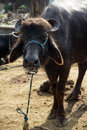 Bull a tethered at the side of the road in jamshedpur india Stock Photos