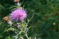 Bull Thistle Wildflower Royalty Free Stock Photo