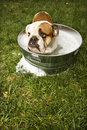 Bulldog in bath. Royalty Free Stock Photos