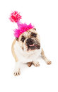 Bulldog in birthday hat wearing a pink sitting against a white backdrop with bottom teeth sticking out Royalty Free Stock Photo