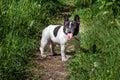 Bulldog Black And White.