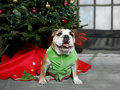 Bulldog Christmas Stock Photography