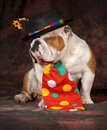 Bulldog clown dog english wearing hat and tie on purple background Royalty Free Stock Image
