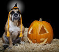 Bulldog dressed as a witch portrait Royalty Free Stock Photo