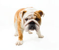 Bulldog english on the white background Stock Images
