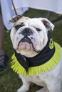 Bulldog in his cool collar posing for a portrait wearing picture to be taken Royalty Free Stock Photos