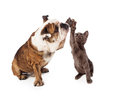 Bulldog and kitten high five a large a little gray kittn raising their paws to give a friendly gesture isolated against a white Stock Photography