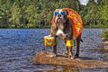Bulldog in lake with floaties on in HDR Royalty Free Stock Photo