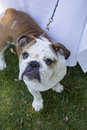 Bulldog looking up a on the grass at the camera Royalty Free Stock Photography