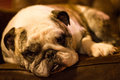 Bulldog lounging on a leather chair Royalty Free Stock Photos