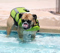 Bulldog in the pool in a swim vest Royalty Free Stock Photos