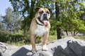 Bulldog posing on rocks an english some boulders for an outdoor mountain portrait Stock Photo