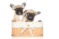 Bulldog puppies in basket Royalty Free Stock Image