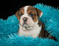 Bulldog Puppy Stock Photos