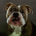 Bulldog puppy with beautiful expression a blue brindle olde english Royalty Free Stock Images