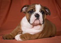 Bulldog puppy english laying down close up weeks old Stock Image