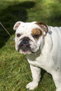 Bulldog puppy head shot outdoor portrait a on the grass outside Stock Photos