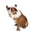 Bulldog raising paw to shake Royalty Free Stock Photo