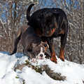 Bulldog and rottweiler in snow puppy adult standing on a rock cliff with Stock Images