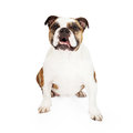 Bulldog Sitting Pretty Royalty Free Stock Photo