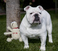 Bulldog standing by a tree Stock Photos