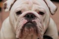 Bulldog stare closeup headshot of a white english Royalty Free Stock Image