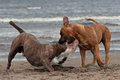 Bulldog and American staffordshire terrier met 1 Royalty Free Stock Photo