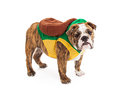 Bulldog Wearing Turtle Costume Royalty Free Stock Photo
