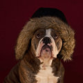 Bulldog whid hairy hat a blue brindle olde english Stock Images