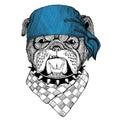 Bulldog Wild animal wearing bandana or kerchief or bandanna Image for Pirate Seaman Sailor Biker Motorcycle