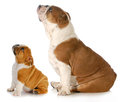 Bulldogs looking up two dogs two english sitting side profile upwards isolated on white background Stock Photos