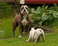 Bulldogs plying Royalty Free Stock Photo