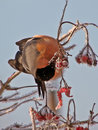 Bullfinch Stock Photography
