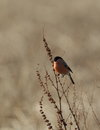 Bullfinch. Royalty Free Stock Photography