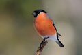 Bullfinch on a branch Stock Photography