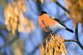 Bullfinch on a branch fluffy sits against the blue sky Stock Photos