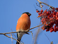 Bullfinch on the branch of mountain ash Stock Photography