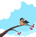 Bullfinch on a branch of rowan on white background Royalty Free Stock Photo
