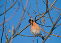 Bullfinch eating Royalty Free Stock Photography