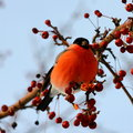 Bullfinch eating apples Stock Images