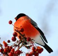 Bullfinch eating apples male sitting on tree branch berries Royalty Free Stock Images